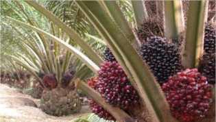 Ini Penyebab TBS Kelapa Sawit di Riau Naik