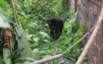 BBKSDA Riau Pasang Perangkap Beruang Madu di Bukit Timah