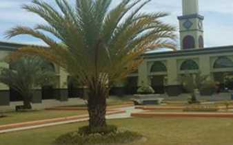 Pohon Kurma di Masjid Raya An-Nur Pekanbaru Panen Perdana