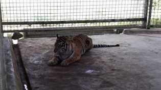 Misteri Bonita yang Gegerkan Ahli Harimau Dunia, Nyaman Hidup Berdampingan Dengan Manusia