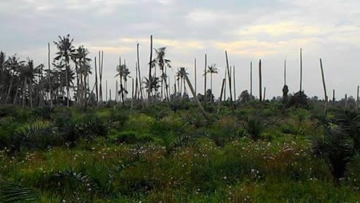 Ironi Perkebunan Kelapa Inhil, Hulu Sektor Yang Butuh Peremajaan