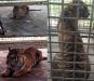 Harimau Bonita yang Bikin Heboh, Kondisinya Sehat dan Bahenol